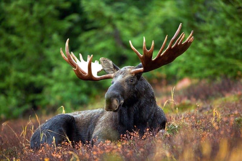 does bear spray work on moose