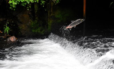 salmon fish in alaska