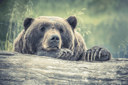 bear can smell from distance