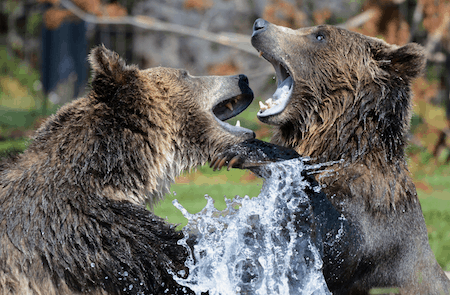 bear attack tent